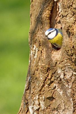 Mésange bleue, Cyanistes caeruleus. (Villemaur-sur-Vanne)