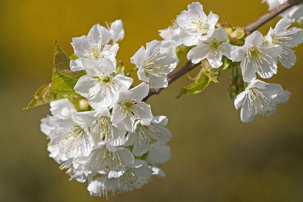Fleurs de cerisier. (Laines-aux-Bois)