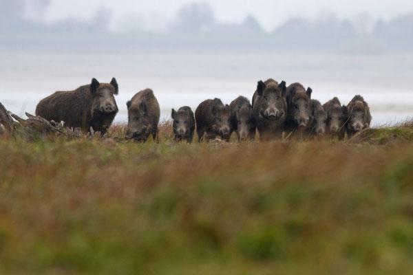 Sangliers, sus scrofa. (Parc naturel régional de la forêt d'Orient)