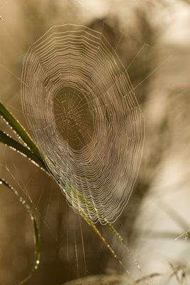 Toile d'araignée au matin. (marais de Reuves)
