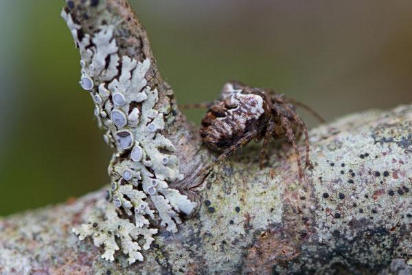Gibbaranea bituberculata - Epeire à bosse - L'Huitre Mailly