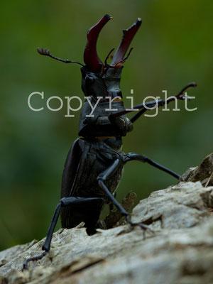 Lucane Cerf-volant, Lucanus cervus. (Chennegy)