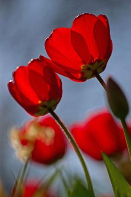 Tulipes. (Laines-aux-Bois)
