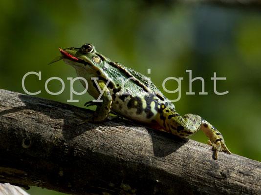 Grenouille verte, Rana esculenta. (Parc naturel régional de la forêt d'Orient)