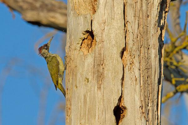 Pic vert, Picus viridis. (Villevenard)
