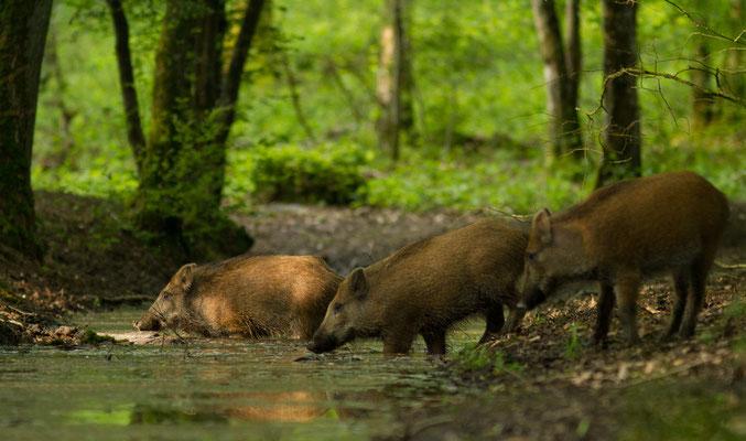 Sangliers traversant un fossé. Sanglier, Sus scrofa. (Parc naturel régional de la forêt d'Orient)