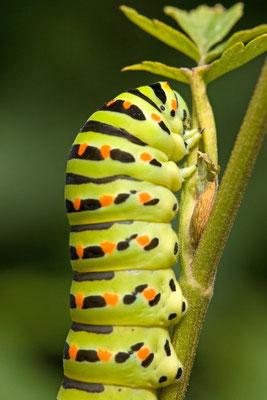 Machaon ou Grand porte-queue, Papilio machaon. (Dierrey-Saint-Julien)