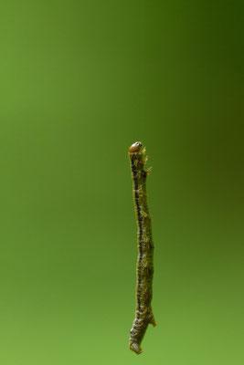 Chenille suspendue à son fil de soie, à déterminer. (Parc naturel régional de la Forêt d'Orient)