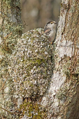 Mésange à longue queue, Aegithalos caudatus. (Parc naturel régional de la forêt d'Orient)