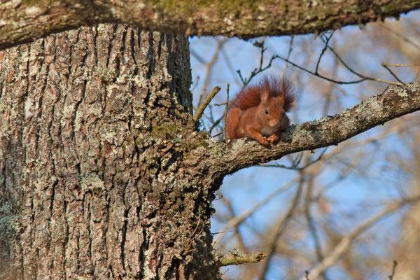 Écureuil roux, Sciurus vulgaris. (Aube)