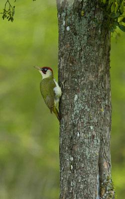 Pic vert, Picus viridis. (Le Valdreux)