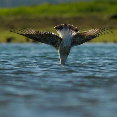 Goéland.  (lac d'Orient, anse de Jolivet)