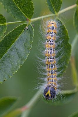 La Bucéphale, Phalera bucephala. (Barbonne-Fayel)