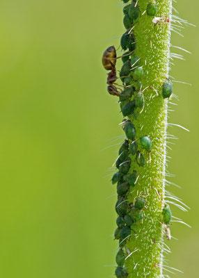 Fourmis récoltant le miellat. (Lusigny-sur-Barse.)