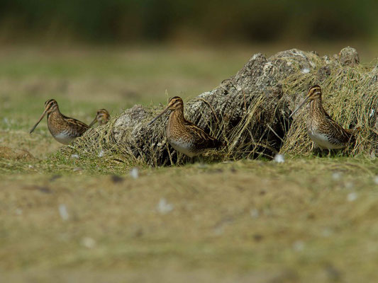 Becassines des marais, Gallinago gallinago. (lac d'Orient, anse de Jolivet)
