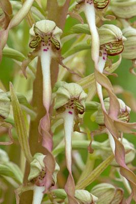 Orchis bouc, Himantoglossum hircinum. Talus au bord de la route. (Grange-l'Évêque)