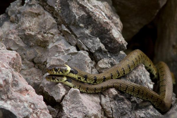 Couleuvre à collier, Natrix natrix. (Lac du temple, étang de Frouasse)