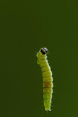 La Tordeuse verte du chêne, Tortrix viridana. (Parc naturel régional de la Forêt d'Orient)