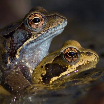 Amplexus de grenouille rousses, Rana temporaria. (Parc naturel régional de la forêt d'Orient)