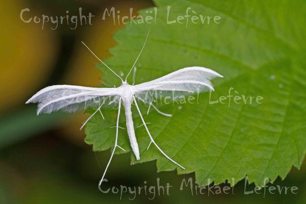 Ptérophore blanc, Pterophorus pentadactylus. (Marais de Reuves)