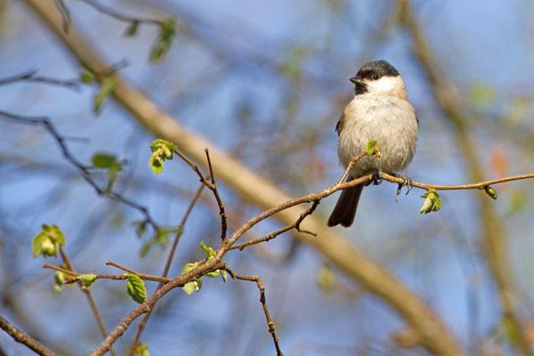 Mésange nonnette, Poecile palustris. (Marne)