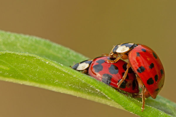 Coccinellidae en accouplement. (Lac du temple).