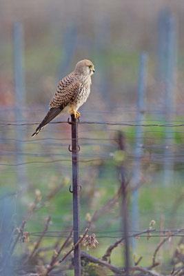 Faucon crécerelle, Falco tinnunculus. (Nogent-l'Abbesse).