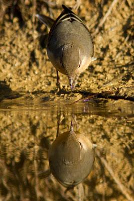 Bergeronnette des ruisseaux, Motacilla cinerea. (Lac du temple, étang de Frouasse).
