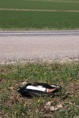Vanneau huppé victime de la circulation. (Dierrey-Saint-Pierre)