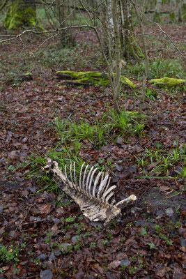 Squelette de Sanglier, Sus scrofa. (PNRFO)