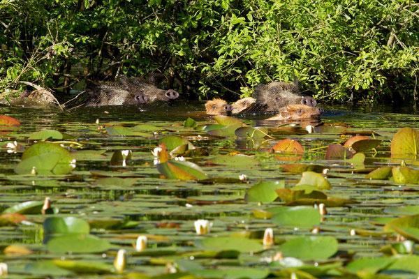 Sanglier dans l'eau, sus scrofa. (Parc naturel régional de la forêt d'Orient)