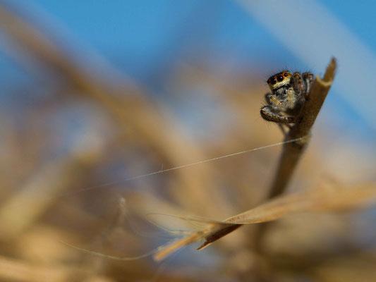 Araignée saltique, Salticidae. (Thuisy).