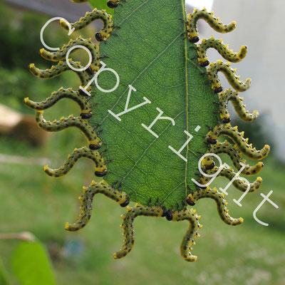Larves de tenthrèdes (fausses chenilles) sur un bouleau blanc.Tenthredinidae. (Dierrey-saint-Julien)