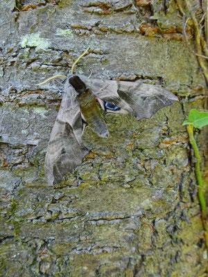 SPHINX DEMI-PAON ou SPHINX OCELLÉ, Smerinthus ocellata. (Monampteuil).