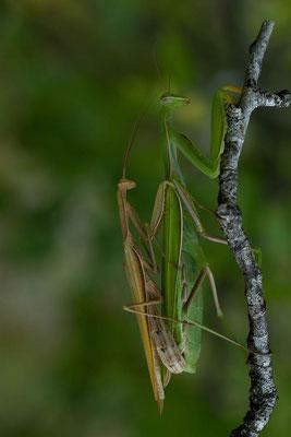 Mantes religieuses en accouplement, Mantis religiosa. (Verpillières-sur-Ource)