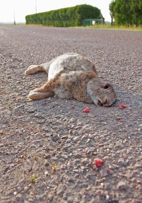 Lapin de garenne victime de la circulation. (Dierrey-Saint-Julien).