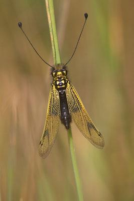 Ascalaphe ambré, libelloides longicornis. (Cunfin)