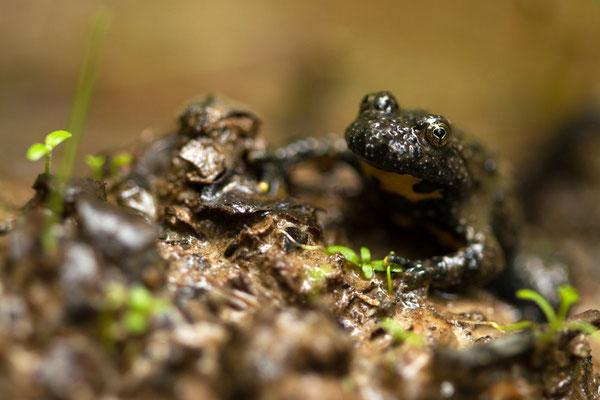 Crapaud sonneur à ventre jaune, Bombina variegata. (Lusigny-sur-Barse)