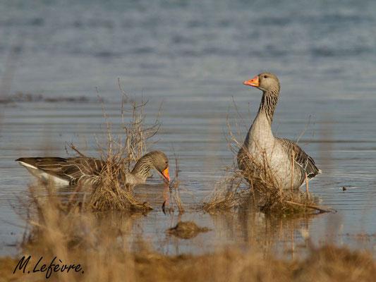 Oies cendrées, Anser anser (Parc naturel régional de la forêt d'Orient)