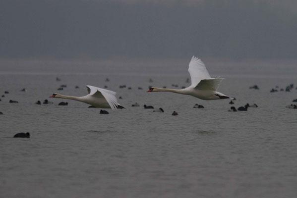 Cygnes tuberculés, Cygnus olor. Affût flottant. (Parc naturel régional de la forêt d'Orient)