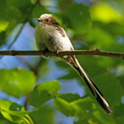 Aegithalos caudatus. (Parc naturel régional de la forêt d'Orient)