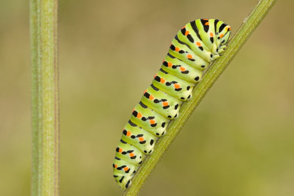 Machaon ou Grand porte-queue, Papilio machaon. (Dierrey-Saint-Julien)