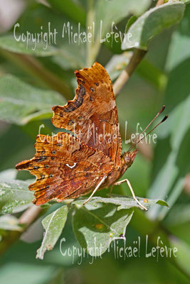Robert-le-Diable, Polygonia c-album. (Marne)