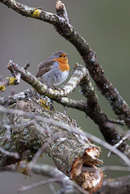 Rougegorge familier, Erithacus rubecula. (Villers-aux-noeuds)