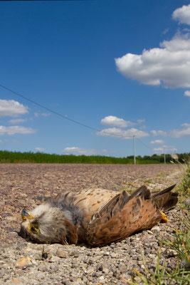Faucon crécerelle, Falco tinnunculus, victime de la circulation. (Mesnil-Saint-Loup).