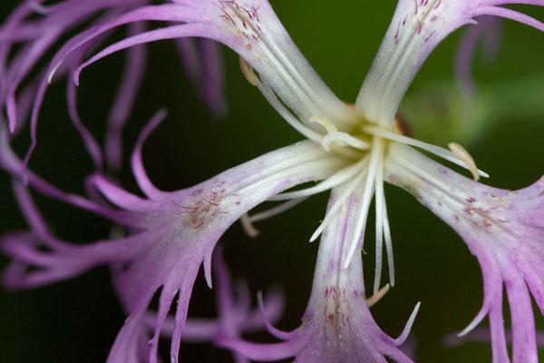 Œillet superbe. Dianthus superbus. (marais de Reuves)