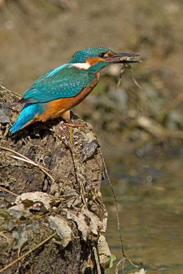 Martin pêcheur, Alcedo atthis. Affût flottant  (Parc naturel régional de la forêt d'Orient)