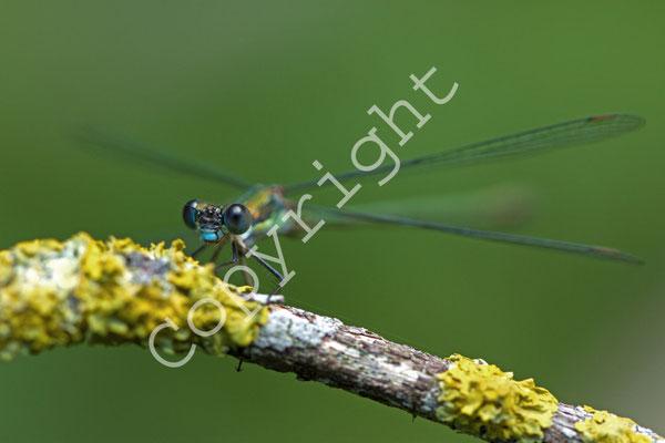 Leste vert, Lestes viridis. (Marne).