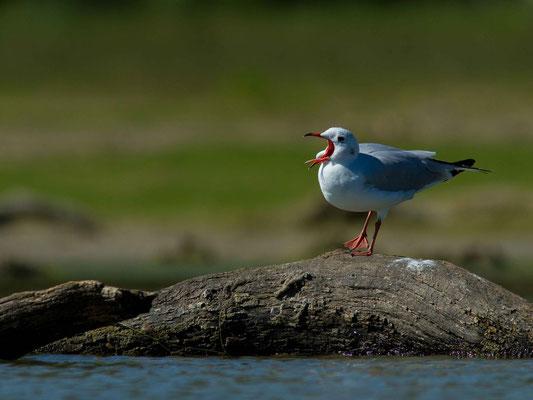 Chroicocephalus ridibundus. (lac d'Orient, anse de Jolivet)
