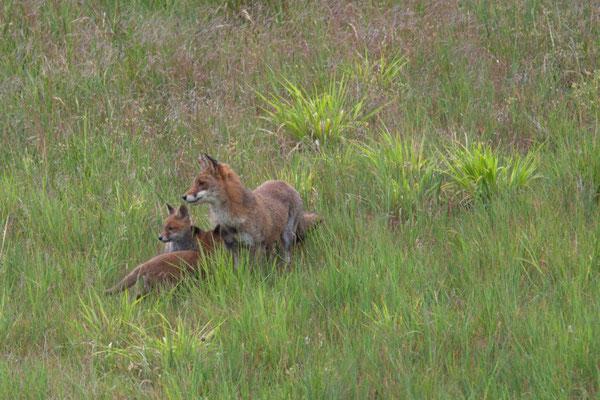 Renard Roux, Vulpes vulpes. (Dierrey-Saint-Julien)